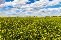 Wide Angle Shot of a Field of Bright Yellow Flowering Canola (Rapeseed) Plants Growing on a Farm in Oklahoma Royalty Free Stock Image