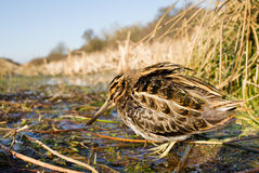 Wide angle shot Jack snipe. During winter Royalty Free Stock Images
