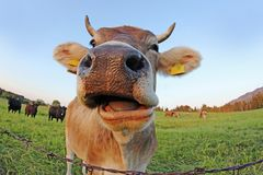 Wide-angle Shot Of A Curious Brown Cow With Horns In A Pasture Royalty Free Stock Photography