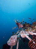 Wide angle shot of red lionfish Stock Photos