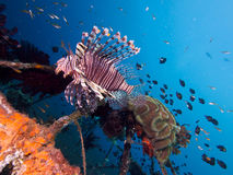 Wide angle shot of red lionfish  Stock Photography