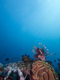 Wide angle shot of red lionfish Royalty Free Stock Photos