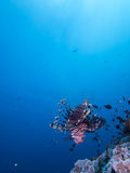 Wide angle shot of red lionfish  Royalty Free Stock Images