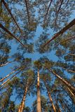Wide angle shot of some pine trees towering up. Into the blue sky stock photos