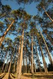Wide angle shot of some pine trees towering up. Into the blue sky royalty free stock image