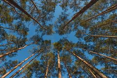 Wide angle shot of some pine trees towering up. Into the blue sky stock photo