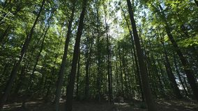 Wide angle shot of tall trees in a forest.  stock footage