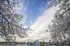 Wide Angle Shot of Thomas Jefferson Memorial with Cherry Blossoms in Washington DC Royalty Free Stock Photo