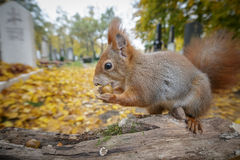 Wide angle squirrel Stock Image