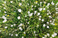 Wide angle top view of dandelions meadow Stock Photo