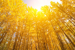 Wide angle view aspen Trees Stock Photo