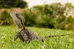 Wide angle view of Australian water dragon Stock Photography