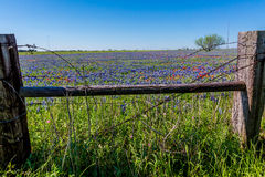 A Wide Angle View of a Beautiful Field Blanketed with Bluebonnets Royalty Free Stock Photography