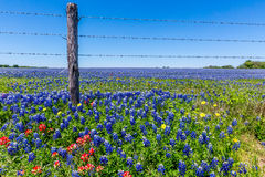 A Wide Angle View of a Beautiful Field. Blanketed with the Famous Texas Bluebonnet (Lupinus texensis) and other varieties of Wildflowers.  Includes barbed wire Stock Images