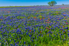 A Wide Angle View of a Beautiful Field Blanketed with the Famous Texas Bluebonnet Royalty Free Stock Photo