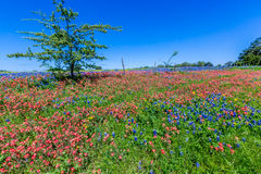A Wide Angle View of a Beautiful Field Blanketed with Indian Paintbrush and the Famous Texas Bluebonnet Stock Photo