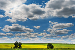 Wide angle view of a beautiful field of bright yellow canola or rapeseed in front of a forest.  Stock Photography