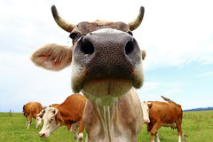 Wide angle view of a brown cattle Royalty Free Stock Photo