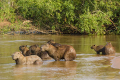 Wide Angle View of Capybara Herd on Alert in Water Stock Photography