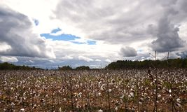 A wide angle view of a cotton field in the fall before a storm. royalty free stock photo