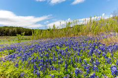 Wide Angle View of Famous Texas Bluebonnet (Lupinus texensis) Wi. A Wide Angle View of a Beautiful Field or Meadow Blanketed with the Famous Texas Bluebonnet ( royalty free stock photography