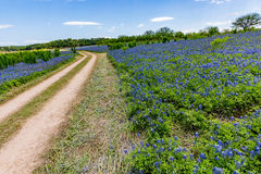 Wide Angle View of Famous Texas Bluebonnet (Lupinus texensis) Wi Royalty Free Stock Image