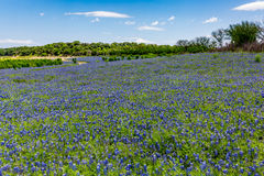 Wide Angle View of Famous Texas Bluebonnet (Lupinus texensis) Wi. A Wide Angle View of a Beautiful Field or Meadow Blanketed with the Famous Texas Bluebonnet ( royalty free stock photos