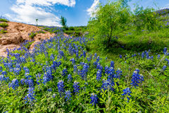 Wide Angle View of Famous Texas Bluebonnet (Lupinus texensis) Wi. A Wide Angle View of a Beautiful Field or Meadow Blanketed with the Famous Texas Bluebonnet ( stock photography