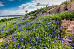 Wide Angle View of Famous Texas Bluebonnet (Lupinus texensis) Wi. A Wide Angle View of a Beautiful Field or Meadow Blanketed with the Famous Texas Bluebonnet ( stock image