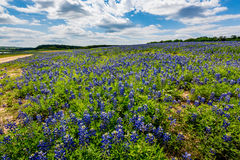 Wide Angle View of Famous Texas Bluebonnet (Lupinus texensis) Wi. A Wide Angle View of a Beautiful Field or Meadow Blanketed with the Famous Texas Bluebonnet ( stock photo
