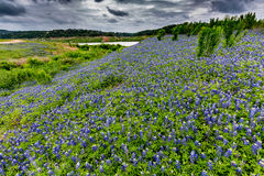 Wide Angle View of Famous Texas Bluebonnet (Lupinus texensis) Wi. A Wide Angle View of a Beautiful Field or Meadow Blanketed with the Famous Texas Bluebonnet ( stock images