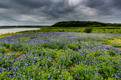 Wide Angle View of Famous Texas Bluebonnet (Lupinus texensis) Wi. A Wide Angle View of a Beautiful Field or Meadow Blanketed with the Famous Texas Bluebonnet ( stock photos