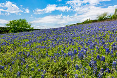 Wide Angle View of Famous Texas Bluebonnet (Lupinus texensis) Wi. A Wide Angle View of a Beautiful Field or Meadow Blanketed with the Famous Texas Bluebonnet ( royalty free stock photo