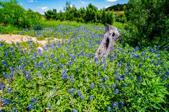 Wide Angle View of Famous Texas Bluebonnet (Lupinus texensis) Wi. A Wide Angle View of a Beautiful Field or Meadow Blanketed with the Famous Texas Bluebonnet ( royalty free stock images