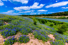 Wide Angle View of Famous Texas Bluebonnet Lupinus texensis Wi. A Wide Angle View of a Beautiful Field or Meadow Blanketed with the Famous Texas Bluebonnet stock images