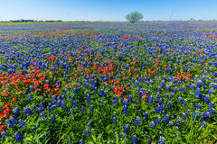 A Wide Angle View of a Field Blanketed with Bluebonnets and Indian Paintbrushes Royalty Free Stock Images