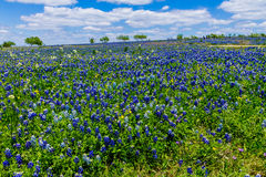 A Wide Angle View of a Field Blanketed with the Famous Texas Bluebonnet (Lupinus texensis). A Wide Angle View of a Beautiful Field Blanketed with the Famous stock image