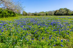 A Wide Angle View of a Field Blanketed with Primarily Texas Bluebonnets Stock Image