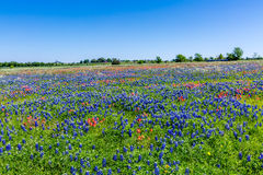 A Wide Angle View of a Field Blanketed with Texas Bluebonnets Stock Photography