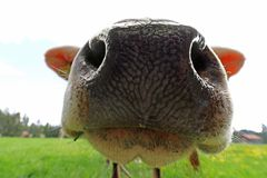 Wide Angle View From The Nose Of A Cow Stock Photo