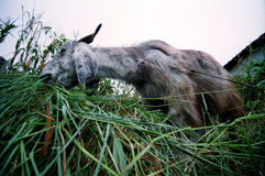 Munching Goat. Wide angle view of a goat chewing on some grass in Daramkot, Dharamsala, India Stock Image