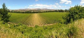 Grapevine growing in vineyards in Marlborough region, New Zealand stock image
