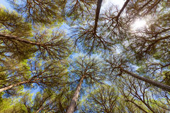 Wide angle view of pine trees Stock Photo