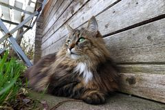 Wide angle view of a pretty norwegian forest cat on the ground.  stock photo