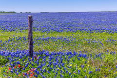 A Wide Angle View of a Solid Blue Field of Texas Bluebonnets Royalty Free Stock Photo