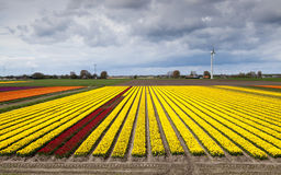 Wide angle view on tulip field Royalty Free Stock Images
