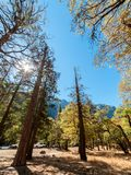 Wide angle view in Yosemite forest with a tall trees at sunny day. Walking near the tall trees in Yosemite Nationl Park forest Stock Image