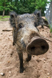 Wide angle wild boar Stock Photography
