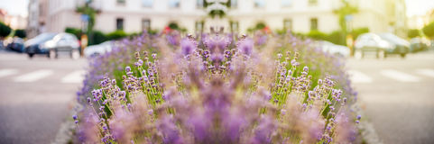 Wide banner panoramic Beautiful lavender field with car in the b stock image