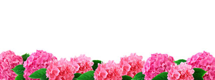 Wide border hydrangea flowers pink hortensia flower with leaves on white. Hydrangea flowers border pink hortensia flower with leaf isolated on white background stock image